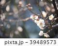 梅の花 permingM  季節の花 写真素材 39489573