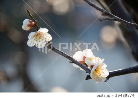 梅の花 permingM  季節の花 写真素材 39489574