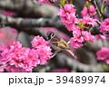 雀 花桃 花の写真 39489974