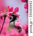 毛虫を捕食する雀と満開のハナモモ 39489992