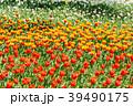 チューリップ畑 チューリップ ユリ科の写真 39490175