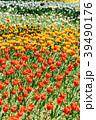 チューリップ畑 チューリップ ユリ科の写真 39490176