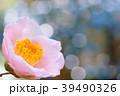 曙 花 椿の写真 39490326