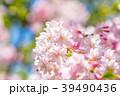 桜 春 花の写真 39490436