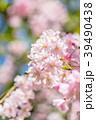 桜 春 花の写真 39490438