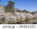 桜 春 名城公園の写真 39491031