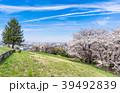 桜 春 住宅街の写真 39492839