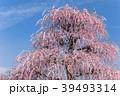 【三重県】鈴鹿の森庭園の枝垂れ梅 39493314