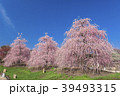 春 枝垂れ梅 梅の写真 39493315