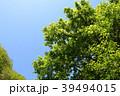 新緑 植物 木の写真 39494015