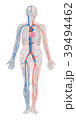人体 全身 循環器系のイラスト 39494462