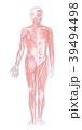 筋肉系 全身 前面のイラスト 39494498
