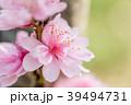 桜 八重桜 春の写真 39494731