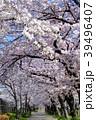 大阪府大阪市の桜之宮公園の桜のトンネル 39496407