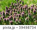 花 植物 シソ科の写真 39498734