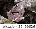 桜 バラ科 植物の写真 39499626