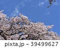 桜 バラ科 植物の写真 39499627