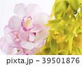 デンドロビウム デンドロビューム 花の写真 39501876