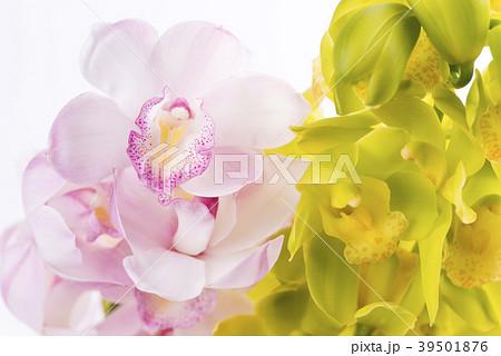 白背景の2種のデンドロビウムの花 39501876