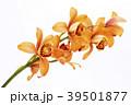 デンドロビウム デンドロビューム 花の写真 39501877