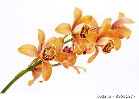 白背景の赤茶色のデンドロビウムの花 39501877