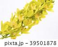 デンドロビウム デンドロビューム 花の写真 39501878