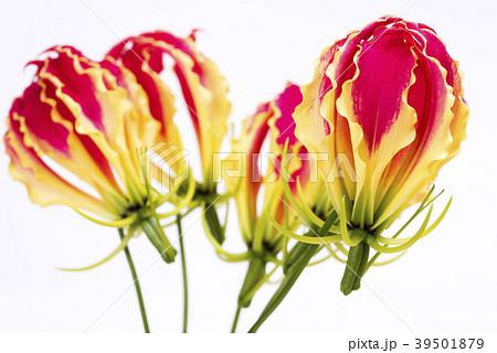 白背景のグロリオサの花花 39501879
