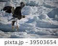 流氷とオオワシ(北海道羅臼町) 39503654