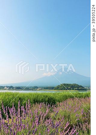 山梨県 夏の富士山と満開のラベンダー 39505224