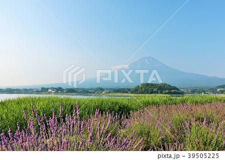 山梨県 夏の富士山と満開のラベンダー 39505225
