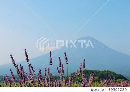 富士山とラベンダー 39505229