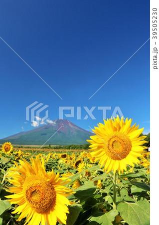山梨県 夏の青空と満開のひまわり そして富士山 39505230