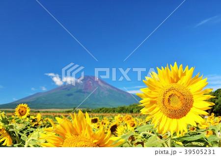 山梨県 夏の青空と満開のひまわり そして富士山 39505231