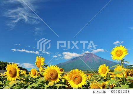 山梨県 夏の青空と満開のひまわり そして富士山 39505233