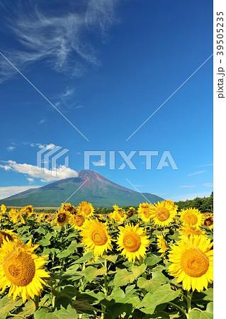 山梨県 夏の青空と満開のひまわり そして富士山 39505235