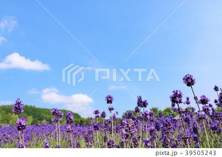 北海道 夏の青空とラベンダーの花 39505243