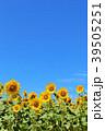 青空 夏 花畑の写真 39505251