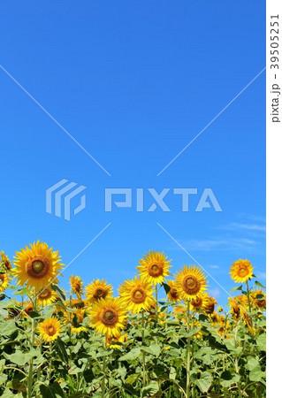北海道 夏の青空とひまわり 39505251
