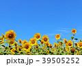 青空 夏 花畑の写真 39505252