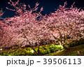 春 菜の花 夜桜の写真 39506113
