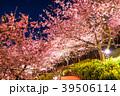 春 菜の花 夜桜の写真 39506114