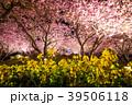 春 菜の花 夜桜の写真 39506118