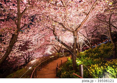 春イメージ・桜と菜の花のライトアップ 39506121
