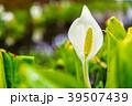 (神奈川県)箱根湿性花園のミズバショウ 39507439