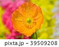 ポピー 花 ヒナゲシの写真 39509208