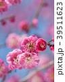 春 梅 紅梅の写真 39511623