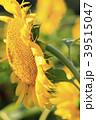 ひまわり 向日葵 植物の写真 39515047