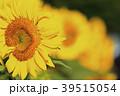 ひまわり 向日葵 植物の写真 39515054