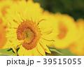 ひまわり 向日葵 植物の写真 39515055