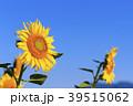 ひまわり 向日葵 植物の写真 39515062